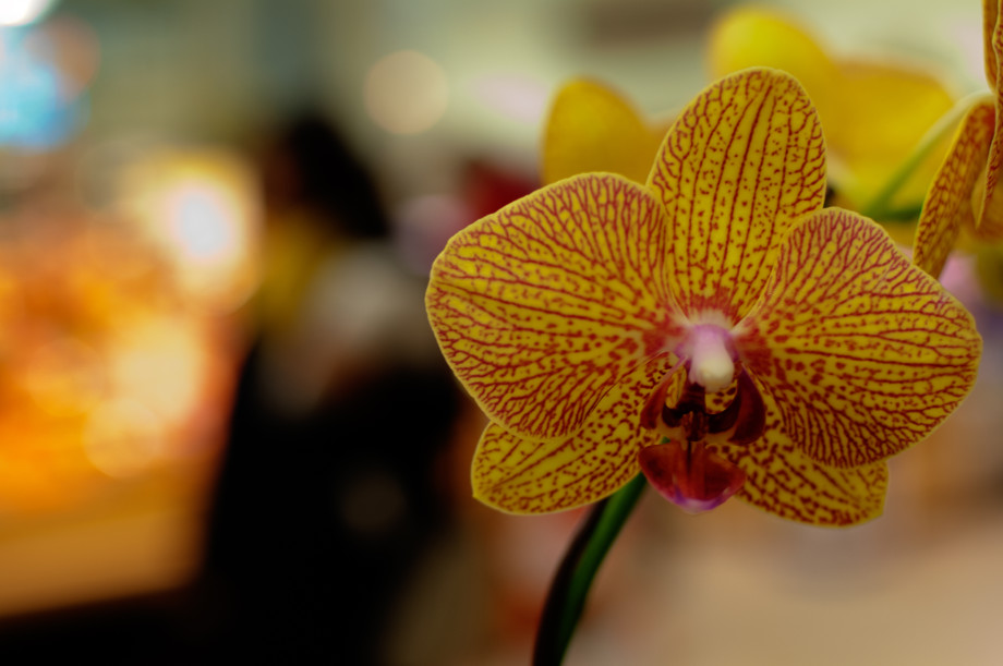 Day 9 of 365 : Orchid, 20110109 DSC 5103  1 920x611