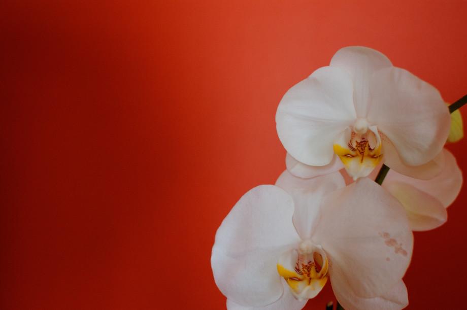 March 12, 2011 : Orchid 20110312 DSC 6683  2  3 920x611