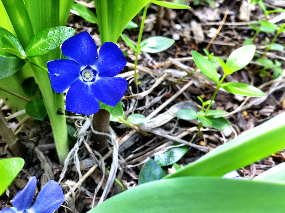 April 30, 2011 : Blue pinwheel 20110430 iPhone 4 2005 920x687