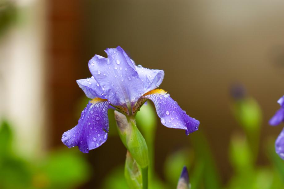 May 16, 2011   Purple rain 20110516 NIKON D40 7976 920x611