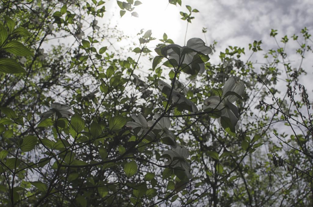 Dogwood (Cornus florida) NIKON D5100 20140510  DSC8663 Edit 2