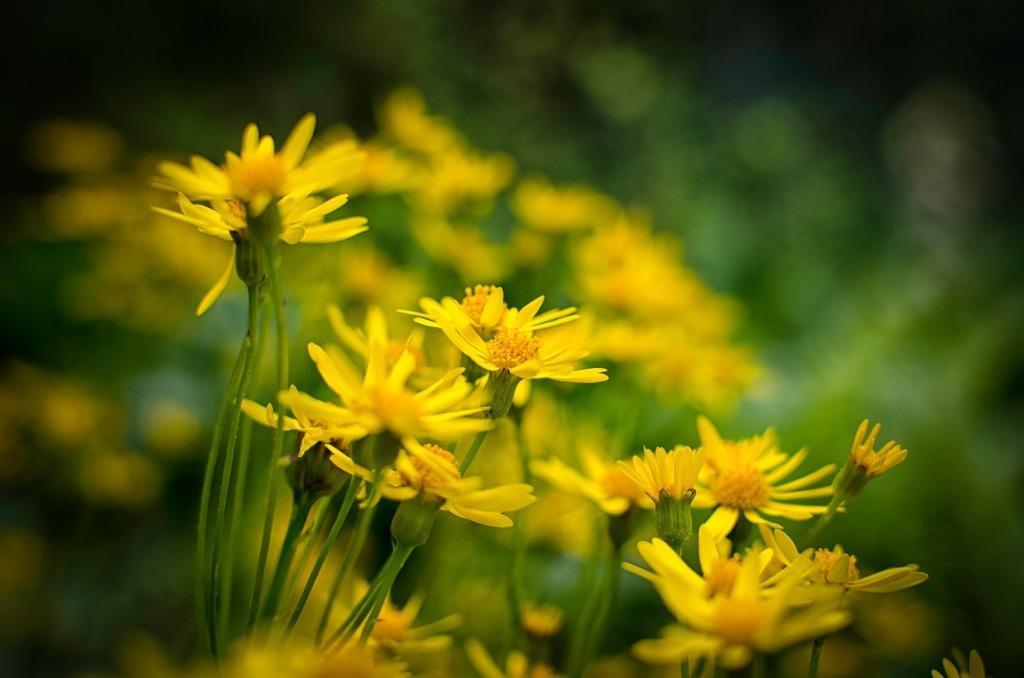 Yellow Flowers NIKON D5100 20140517 8918 2