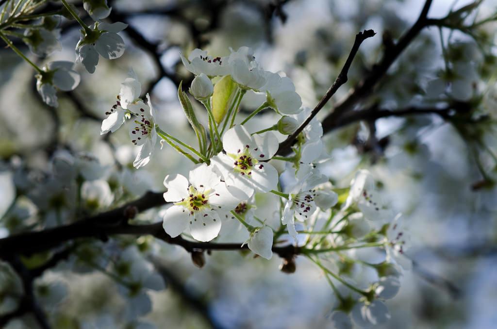 White Blossoms White Blossoms NIKON D5100 20150420 5809