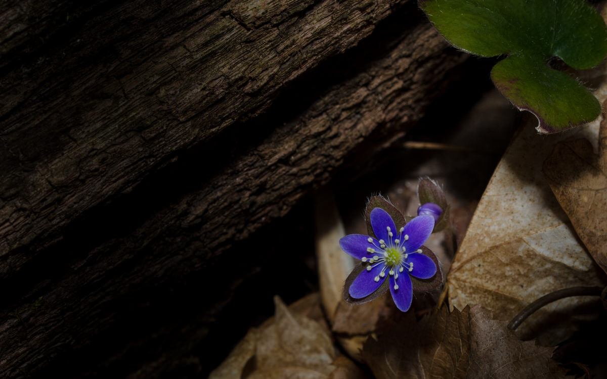 Khürt L. Williams Khurt@islandinthenet.com Round lobed Hepatica Hepatica nobilis var. obtusa 5967 1