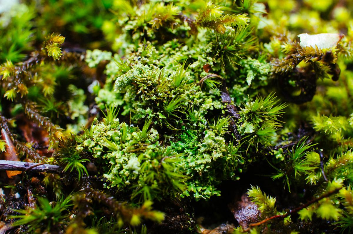 Souland Mountain Moss