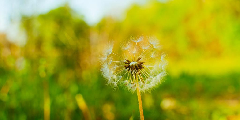 Dandelion in the Yellow NIKON D5100 20150504 6262