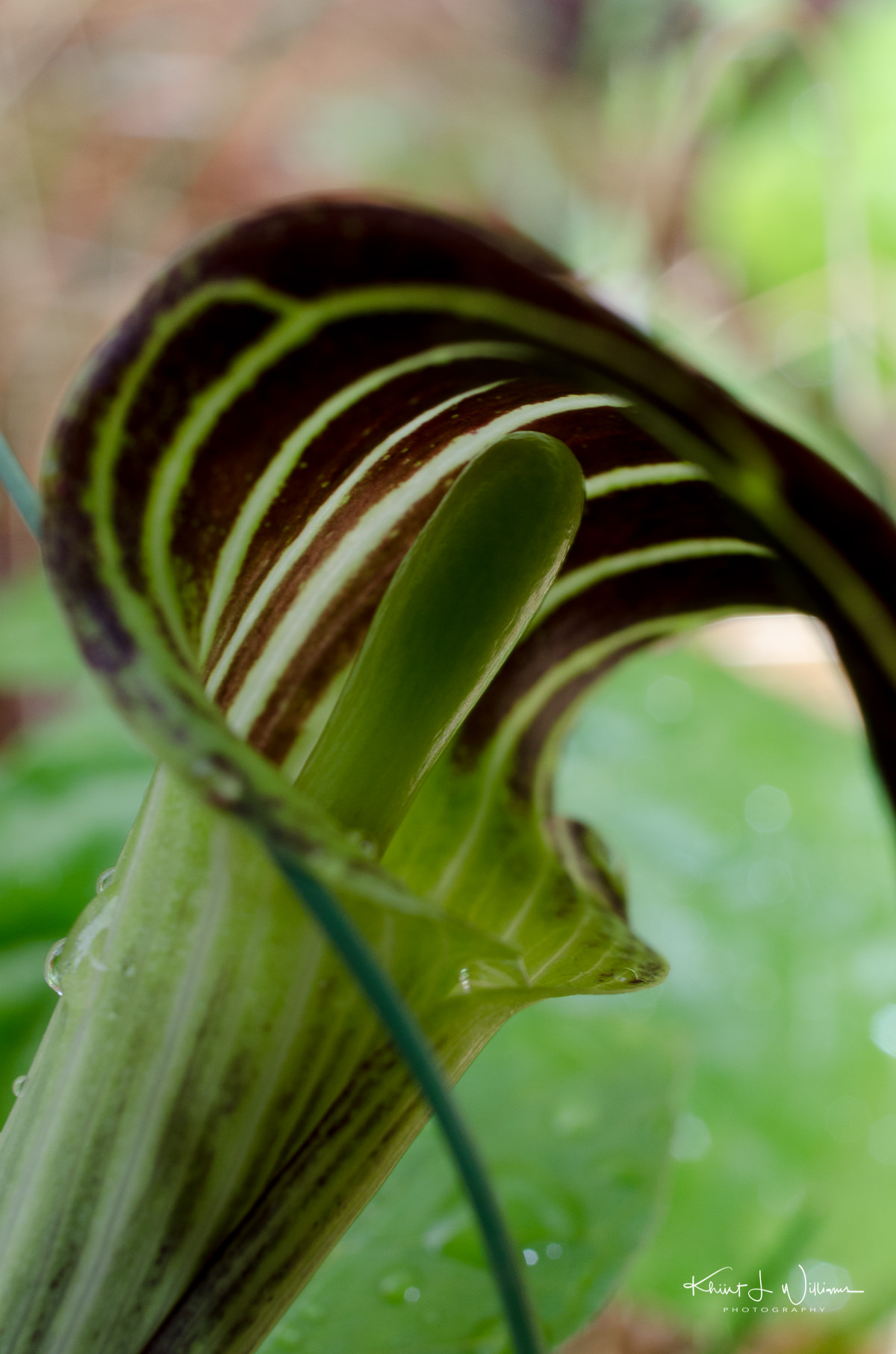 jack in the pulpit, spring, sourland mountain