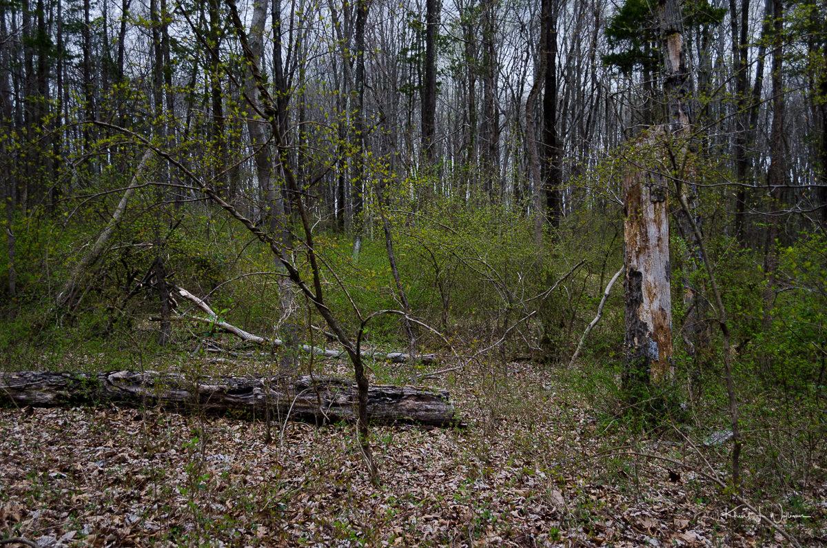 Broken tree along Roaring Brook Trail NIKON D5100 20170415 0427
