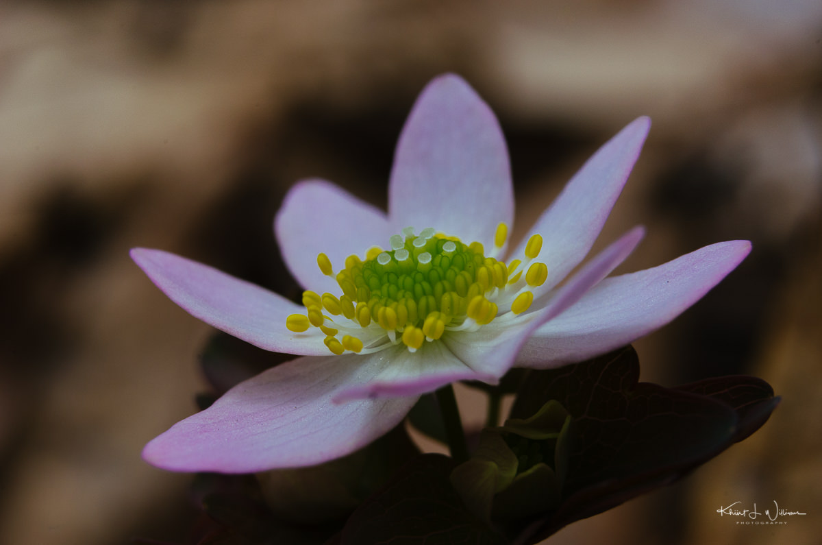 rue anemone, flower, sourland mountain