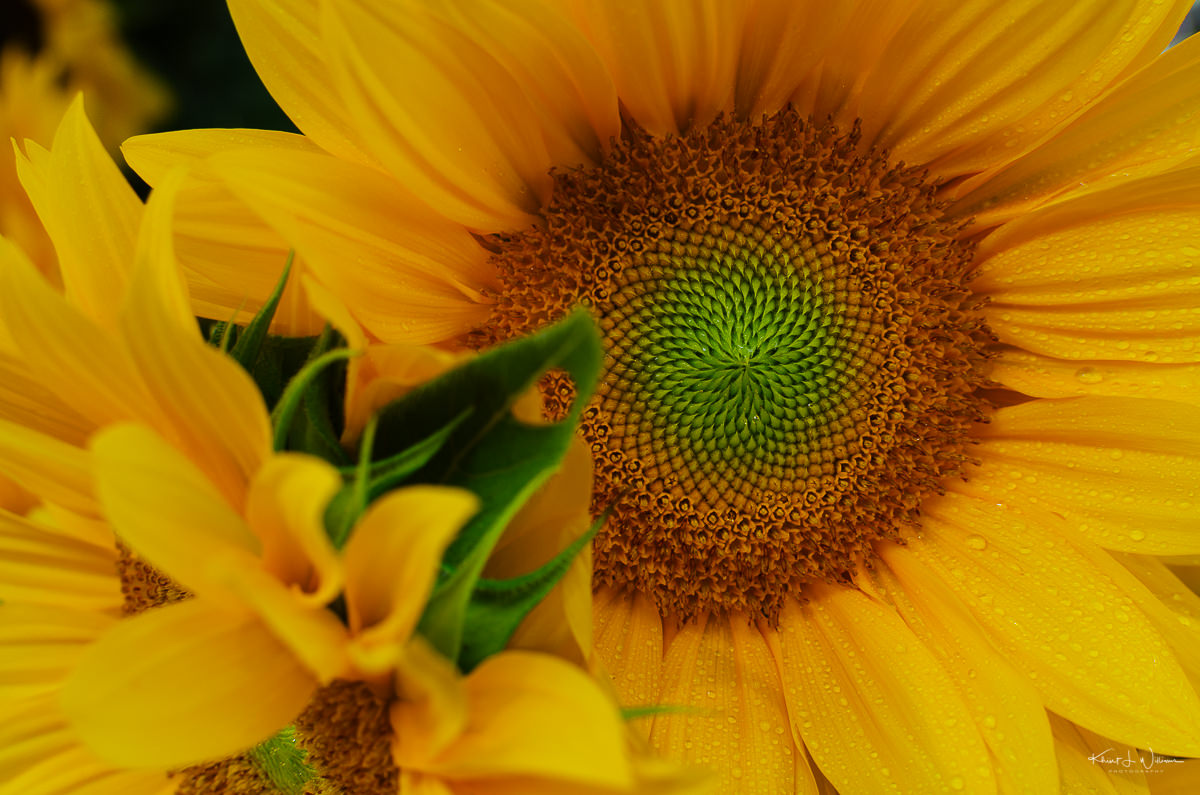 Sunflower from Nine Acres Farm. NIKON D5100 20140712 0699
