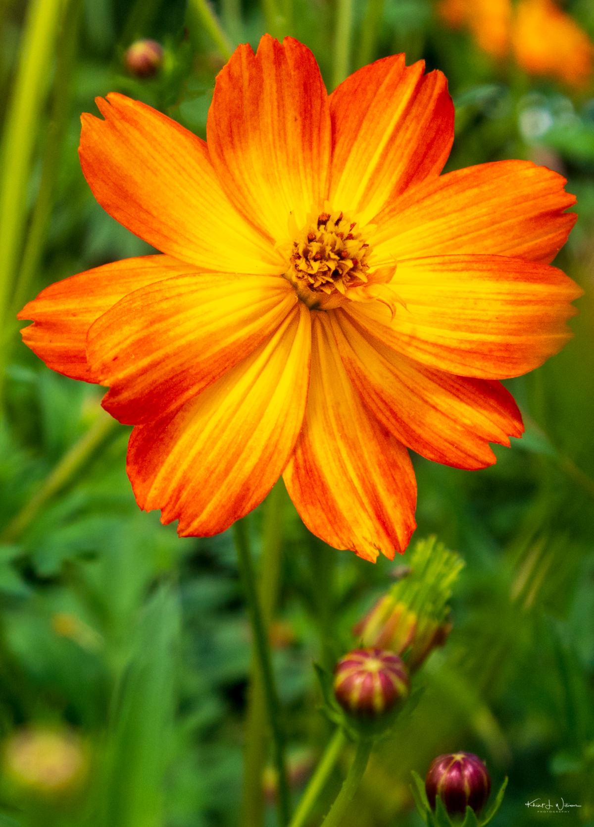 flower, orange