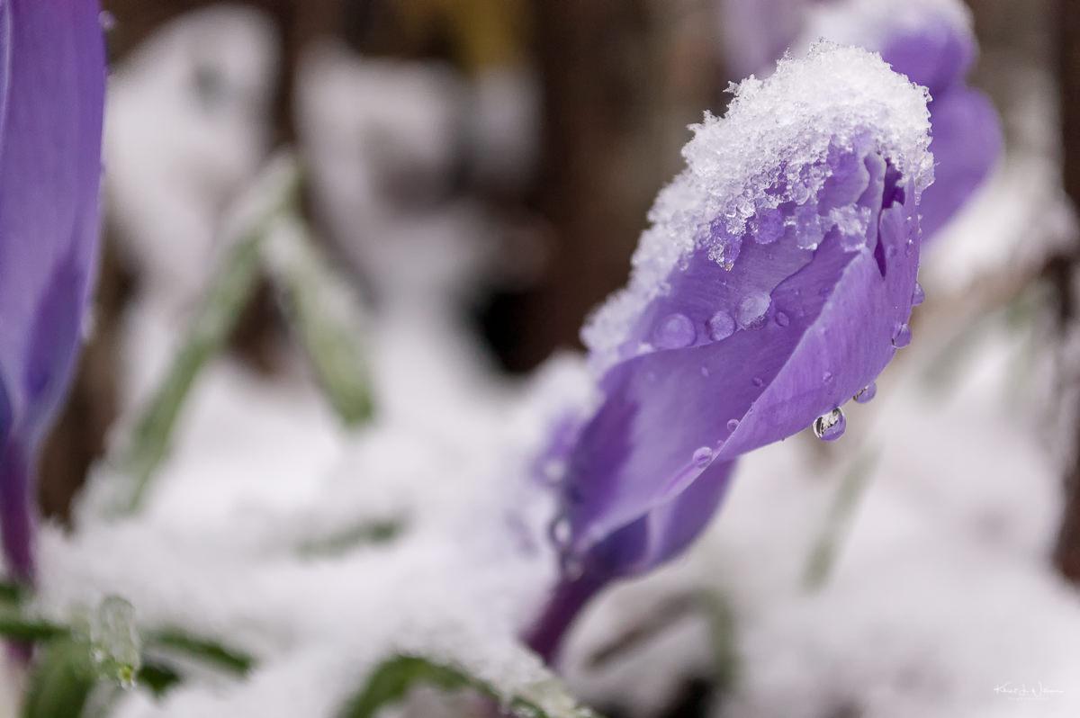 Snow, Flowers, Spring