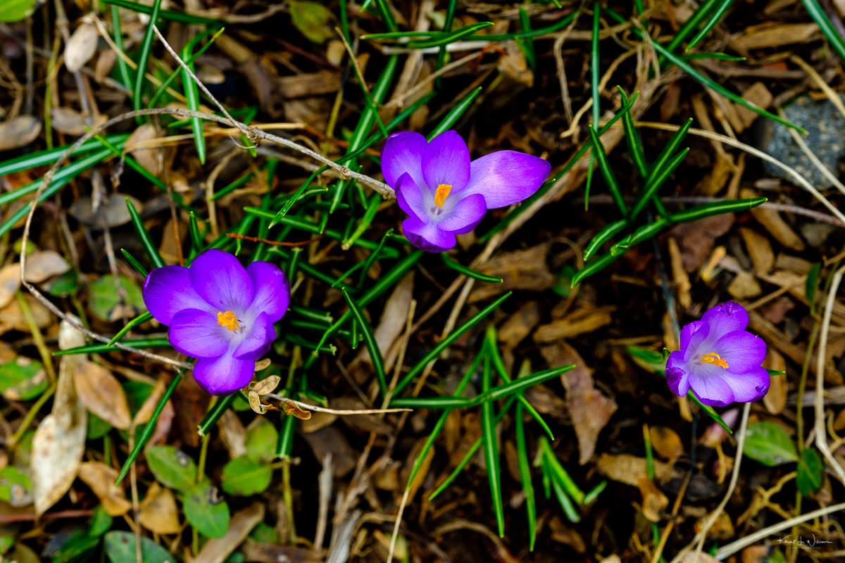 Crocus, Spring, Flowerd, Purple