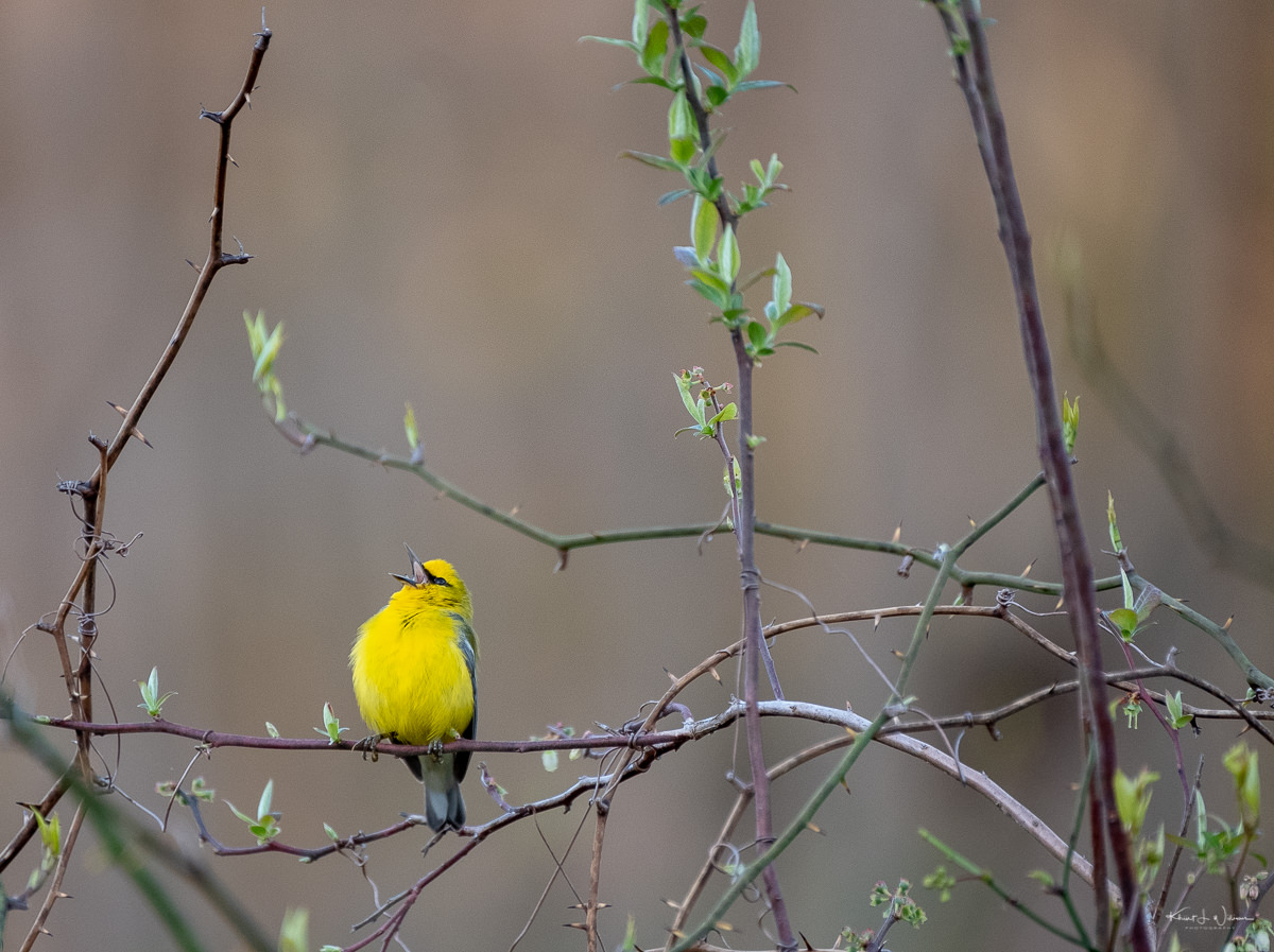 Warbler, Bird, Yellow, Blue-winged Warbler