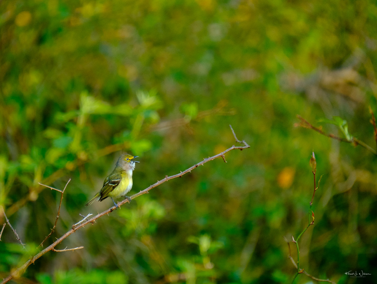 White-Eyed Vireo, Bird, Branch
