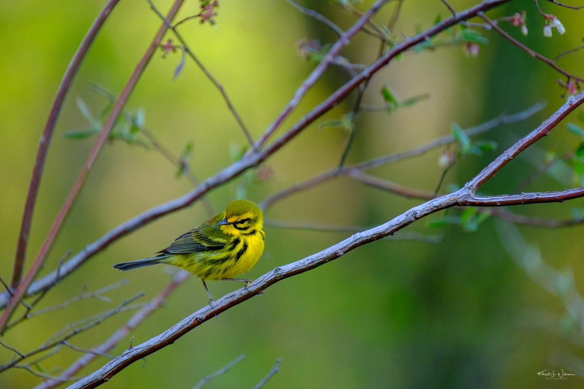 Warbler, Bird, Yellow, Yellow Warbler
