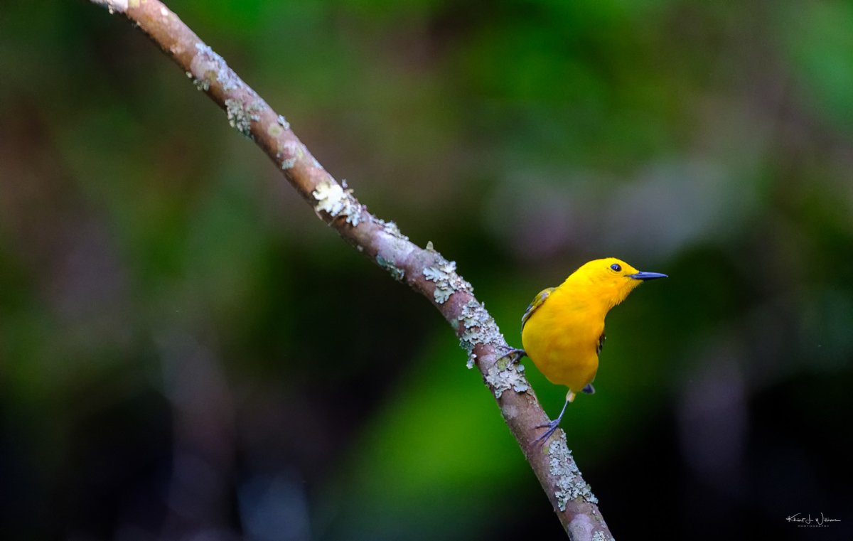 Prothonatary Warbler, Warbler, Bird, Yellow