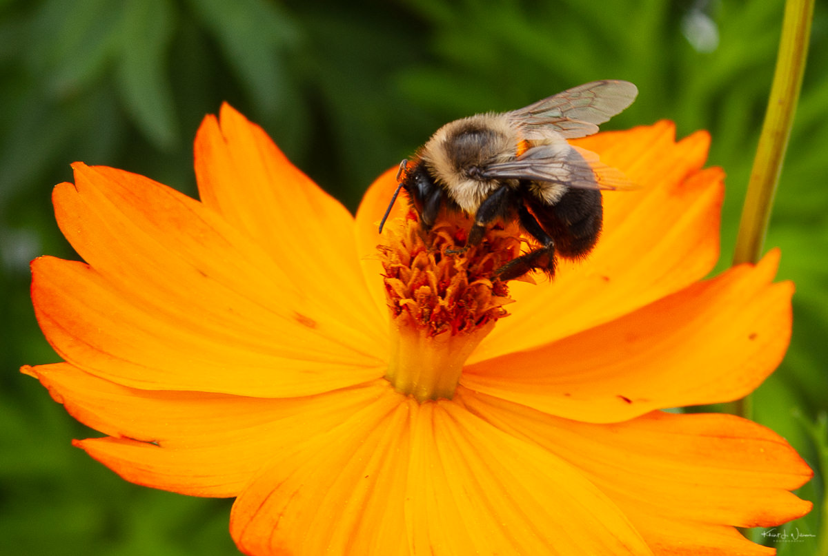 Orange Flower, Bee, Flower