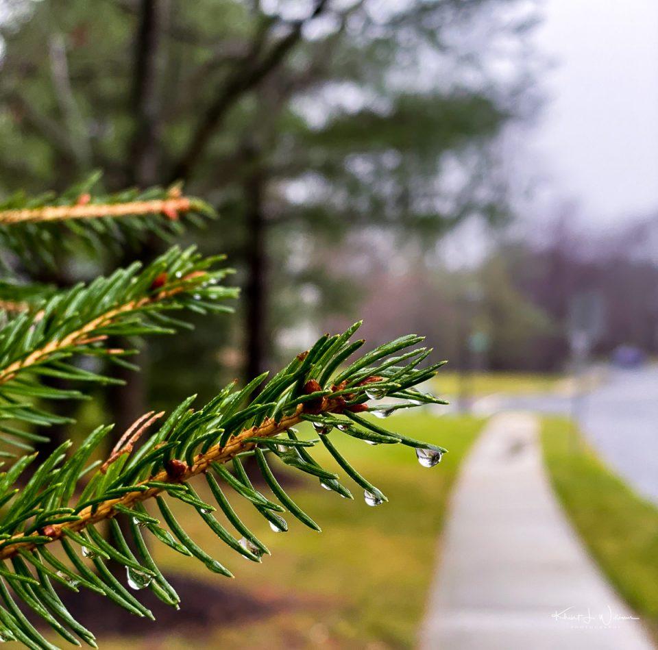 Pine, Rain
