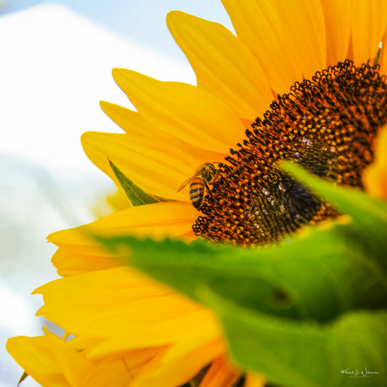 """bee"", ""sunflower"", bloom, Farmers Market, flora, floral, flower, Montgomery Friends Of Open Space, Montgomery Township, New Jersey, petals, Skillman, sunflower, sunflowers, yellow"