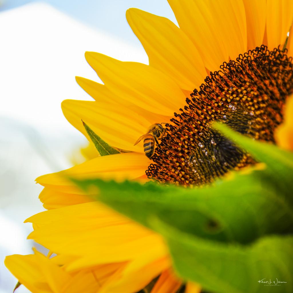 """bee"", ""sunflower"", bloom, Farmers Market, flora, floral, flower, Montgomery Friends Of Open Space, Montgomery Township, New Jersey, petals, Skillman, sunflower, sunflowers, yellow"