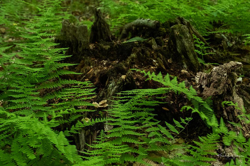 Dennstaedtia punctilobula fern