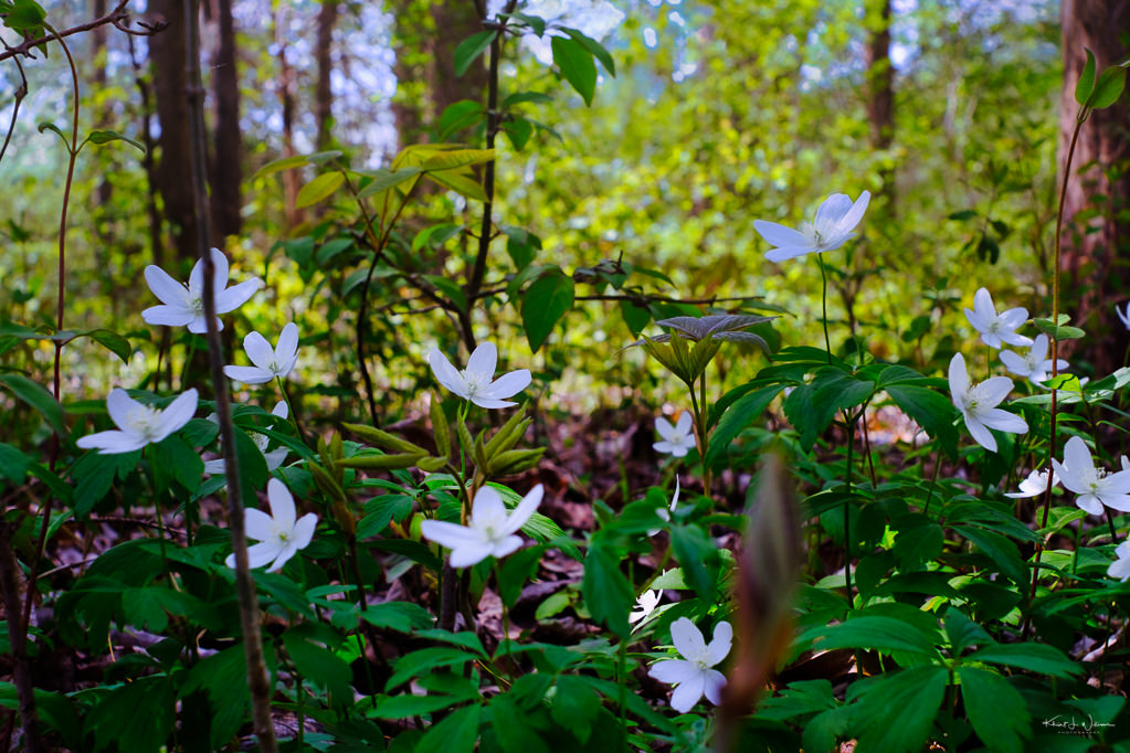 grouping of Wood anemone