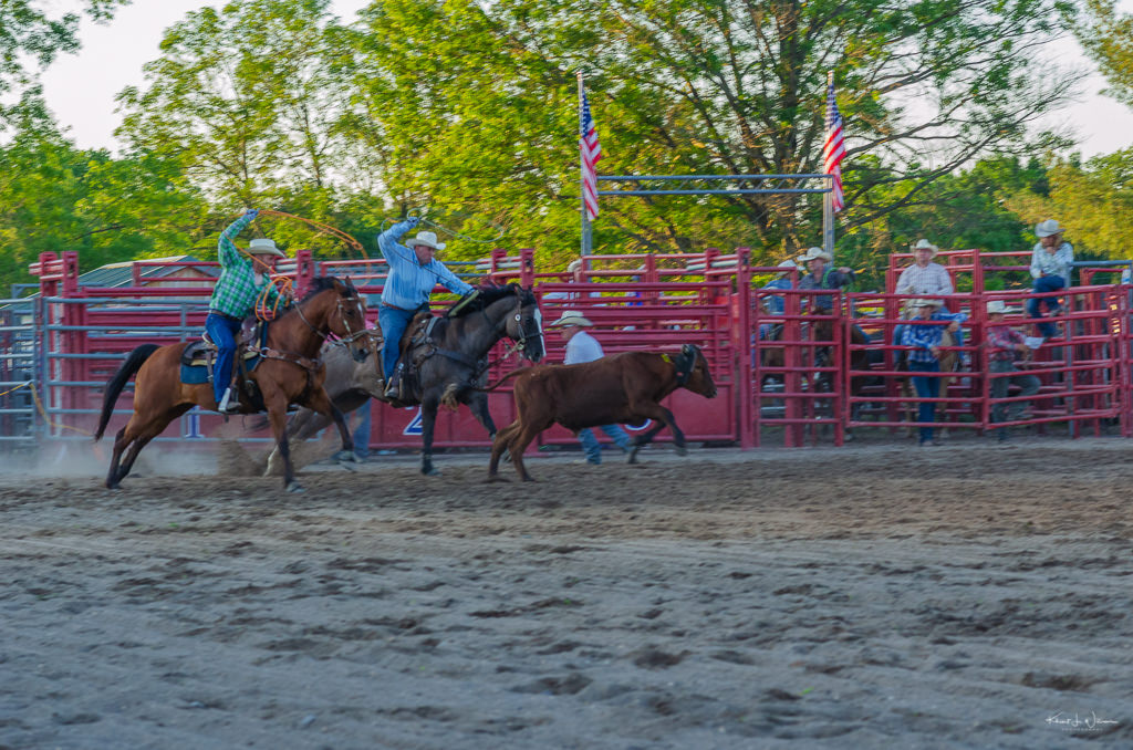 cowboys on horse chasing cow