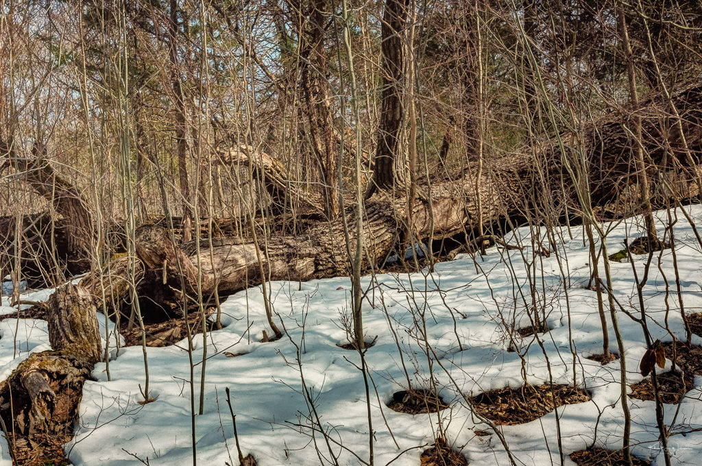 fallen trees on snow among winter brush