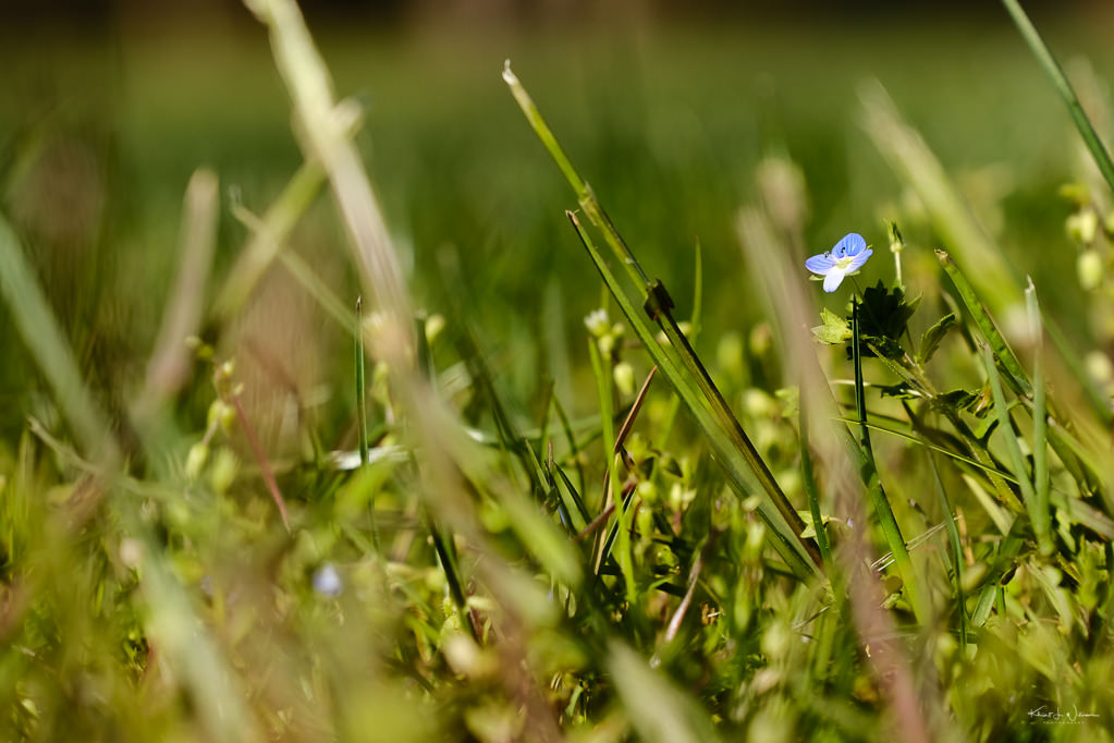Persian Speedwell (Veronica persica) invasive