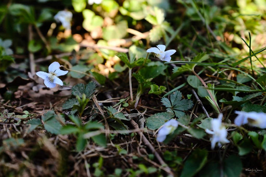 Long-spurred Violet (Viola rostrata),Hobler Park, Montgomery Township