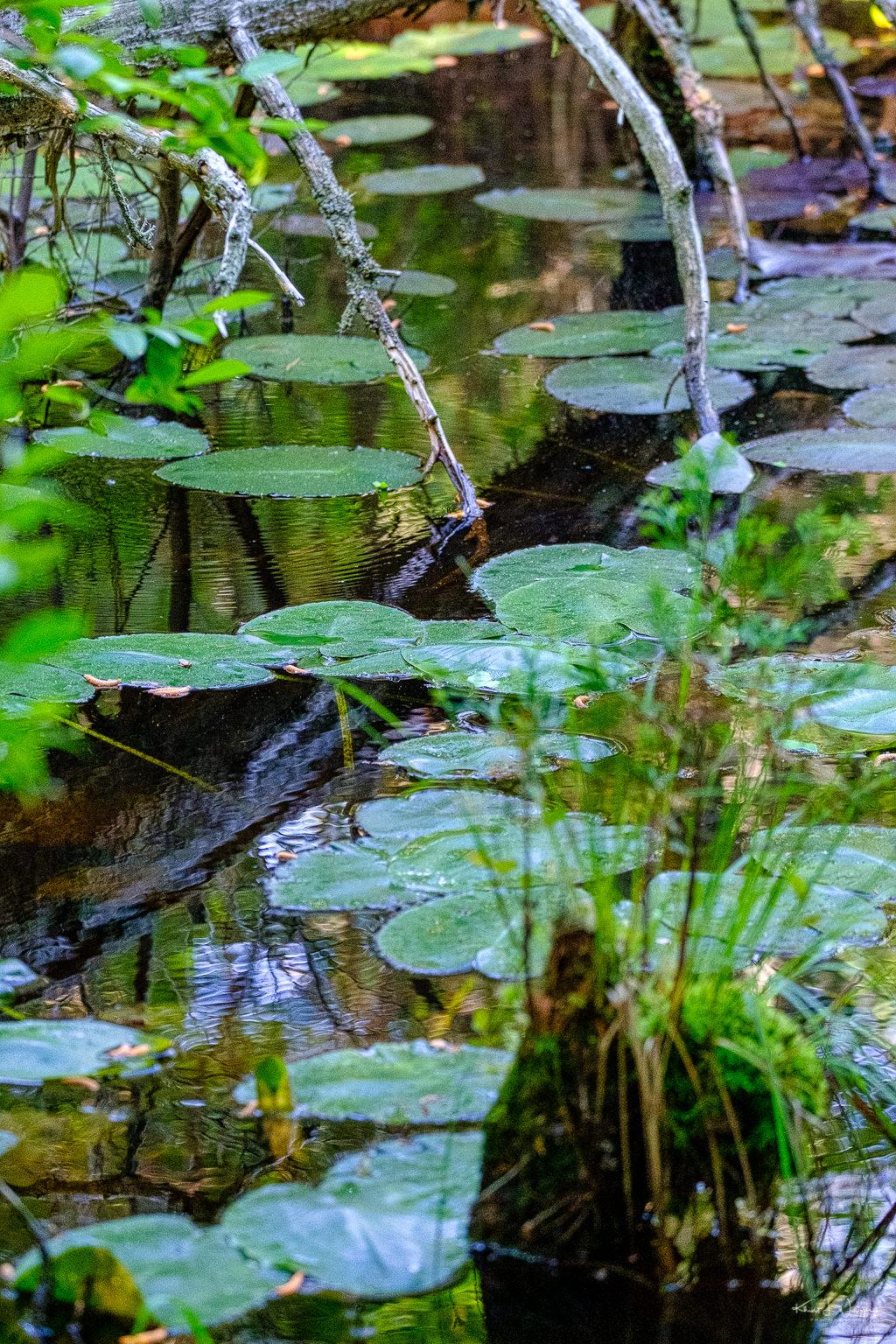 water lillies, lotus