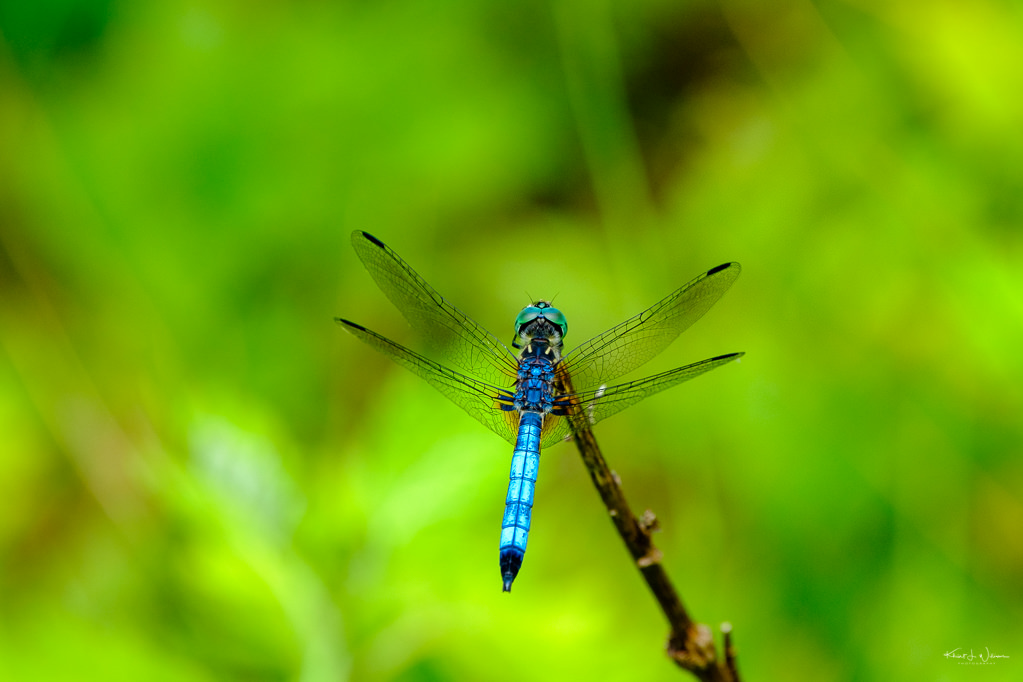 Dragonfly, Van Horne Park, Montgomery Township