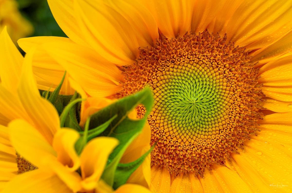 Sunflower from Nine Acres Farm